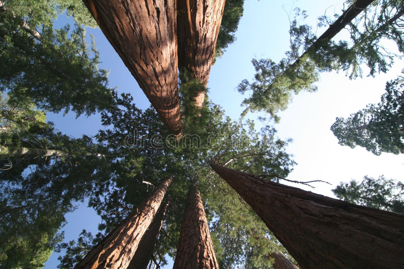 Sequoia sempervirens. The genus in the cypress family Cupressaceae. Sequoia national park. California. USA stock image