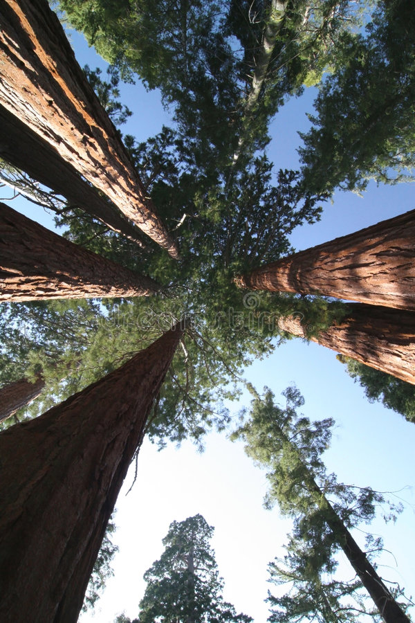 Sequoia sempervirens. The genus in the cypress family Cupressaceae. Sequoia national park. California. USA royalty free stock photography