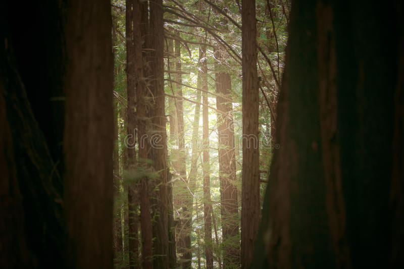 Download Sequoia Trail stock photo. Image of reedwood, sequoia - 22845438