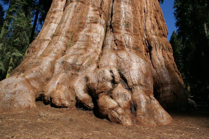 Sequoia tree royalty free stock photo