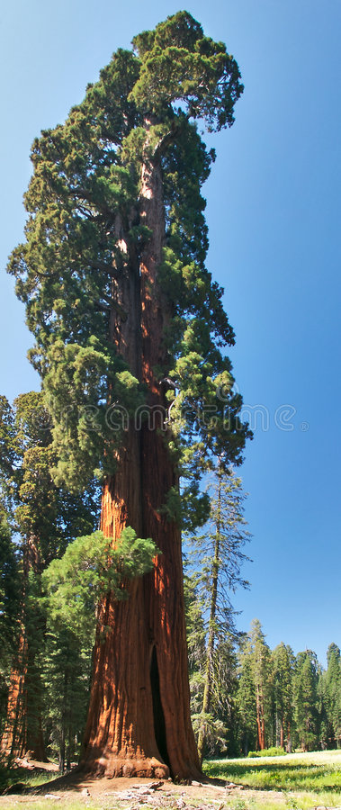 Sequoia Tree royalty free stock photography