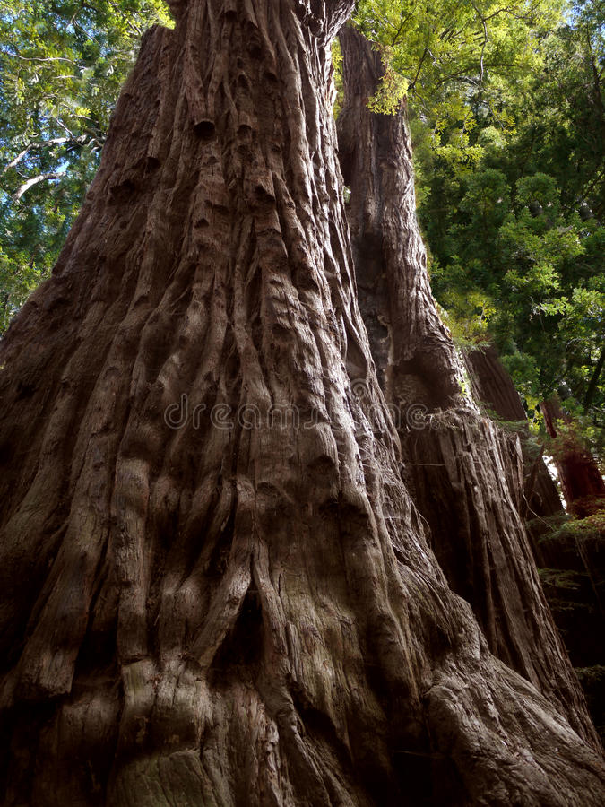 Download Sequoia Tree, Father Of The Forest Stock Image - Image: 33021561