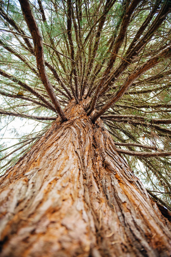 Sequoia treefrom below royalty free stock images