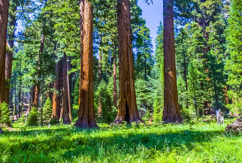 Sequoia trees in the Sequois National Park in California royalty free stock photos