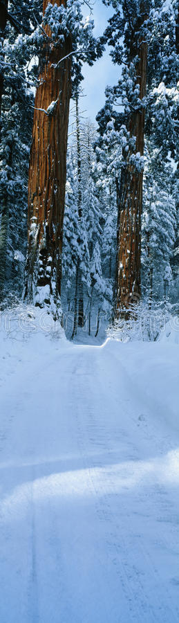 Sequoia Trees In Snow With Snowy Road Stock Image
