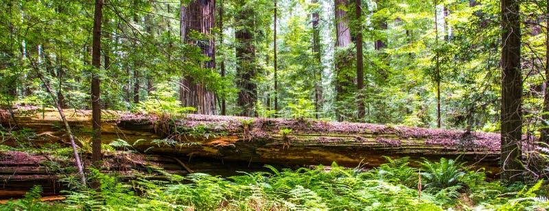 Sequoia vermelha caída imagens de stock royalty free