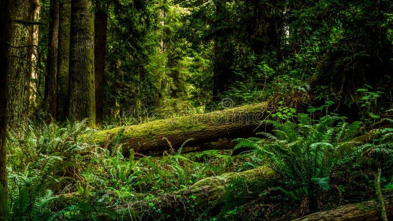 Sequoia vermelha caída imagem de stock