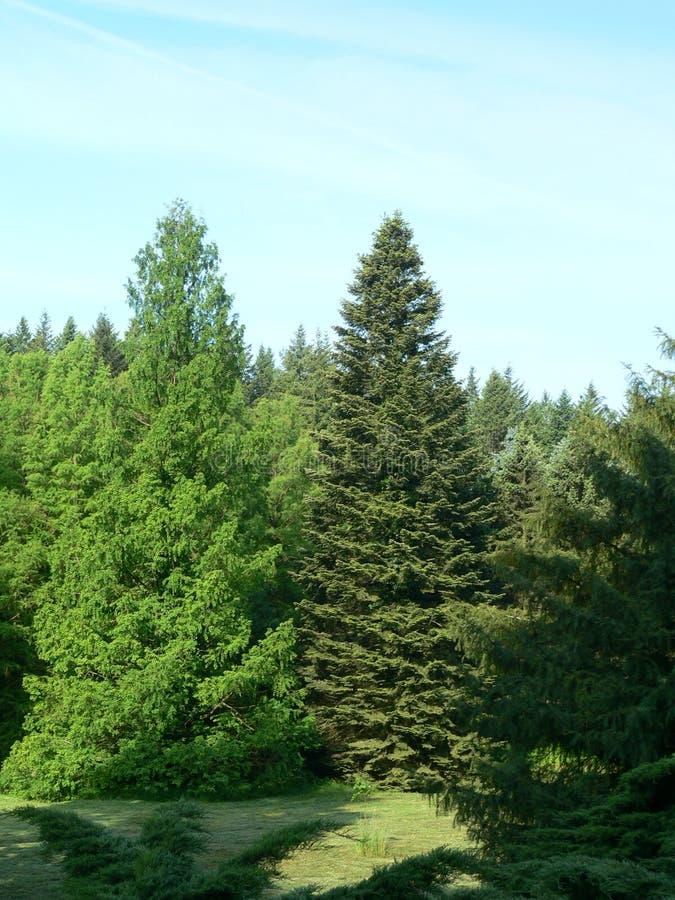 Sequoia vermelha de alvorecer (deixada) foto de stock