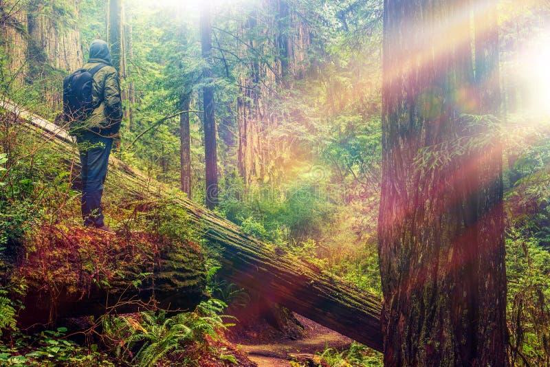 Sequoia vermelha Forest Hiker imagens de stock