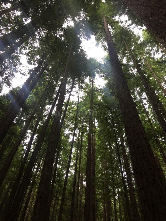 Sequoia vermelha Forest Scene imagens de stock