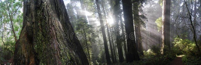 Sequoia vermelhas de Califórnia fotos de stock royalty free