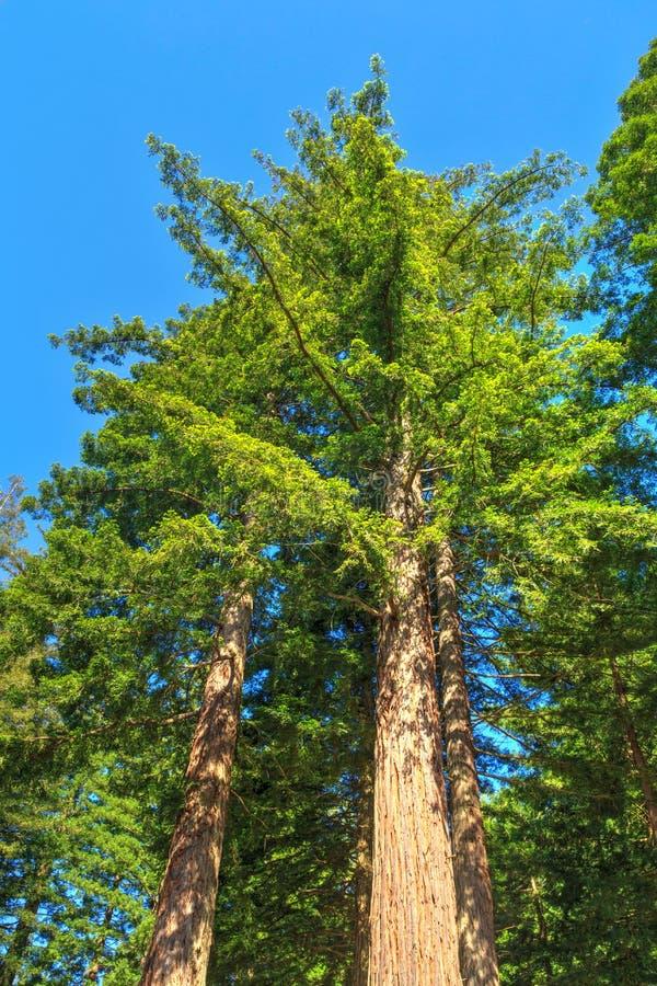 Sequoia vermelhas de Califórnia que elevam-se em um céu azul fotos de stock