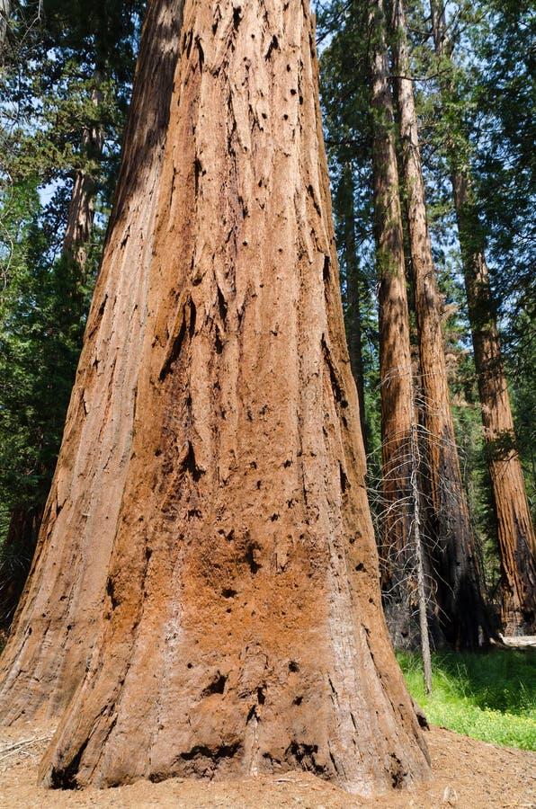 Sequoia vermelhas do bosque de Mariposa imagem de stock royalty free