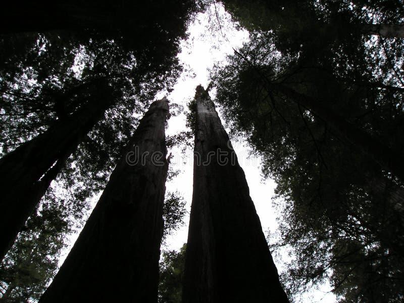Sequoia vermelhas gigantes na floresta de Oregon imagem de stock