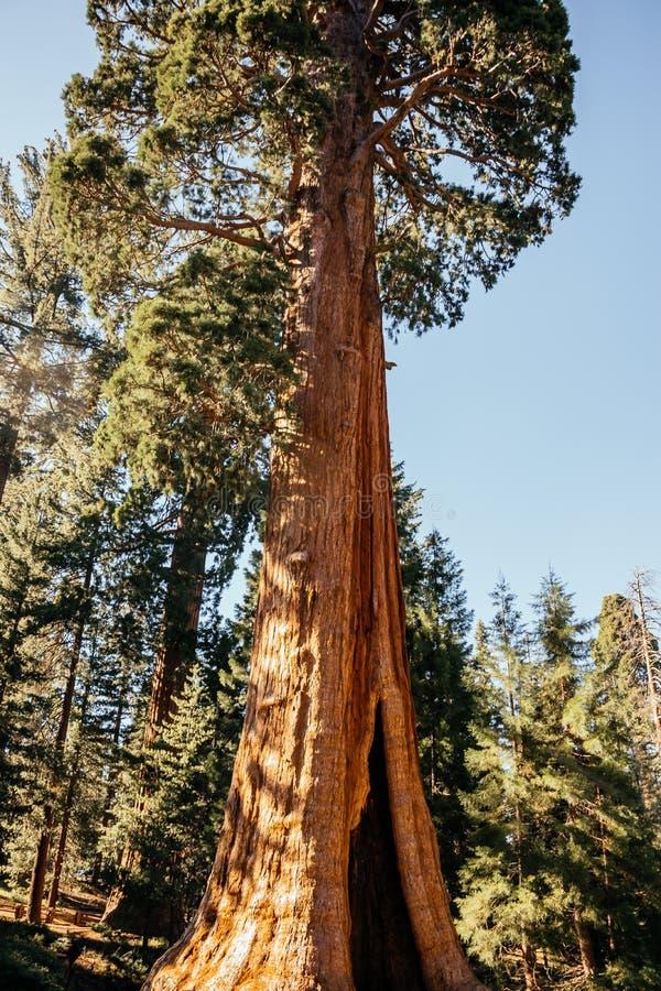 Sequoia vermelhas gigantes no sol imagens de stock