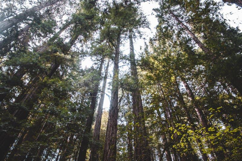 Sequoia vermelhas que olham acima ao céu imagens de stock