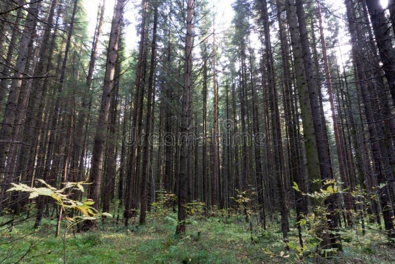 Sequoia versus Bos van Mensen het Reuzesequoia's en de Toerist met Rugzak het Kijken royalty-vrije stock fotografie