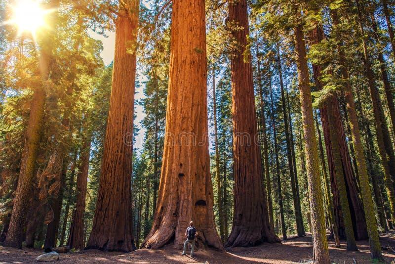 Sequoia vs man royaltyfria bilder