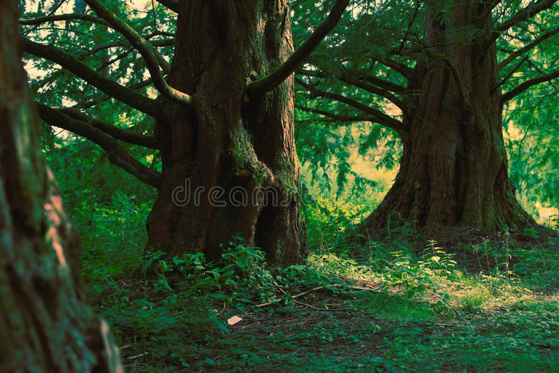 Sequoiadendron giganteum obrazy royalty free