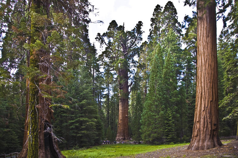 Sequoias in beautiful sequoia national park royalty free stock photo