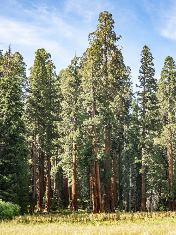 Sequoiaträd omger ängen arkivfoton
