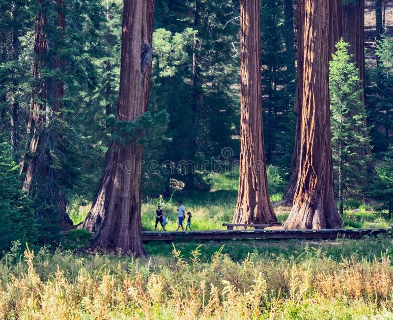 Sequoiaträd omger ängen royaltyfri fotografi