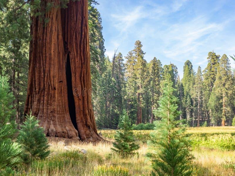 Sequoiaträd omger ängen royaltyfria bilder