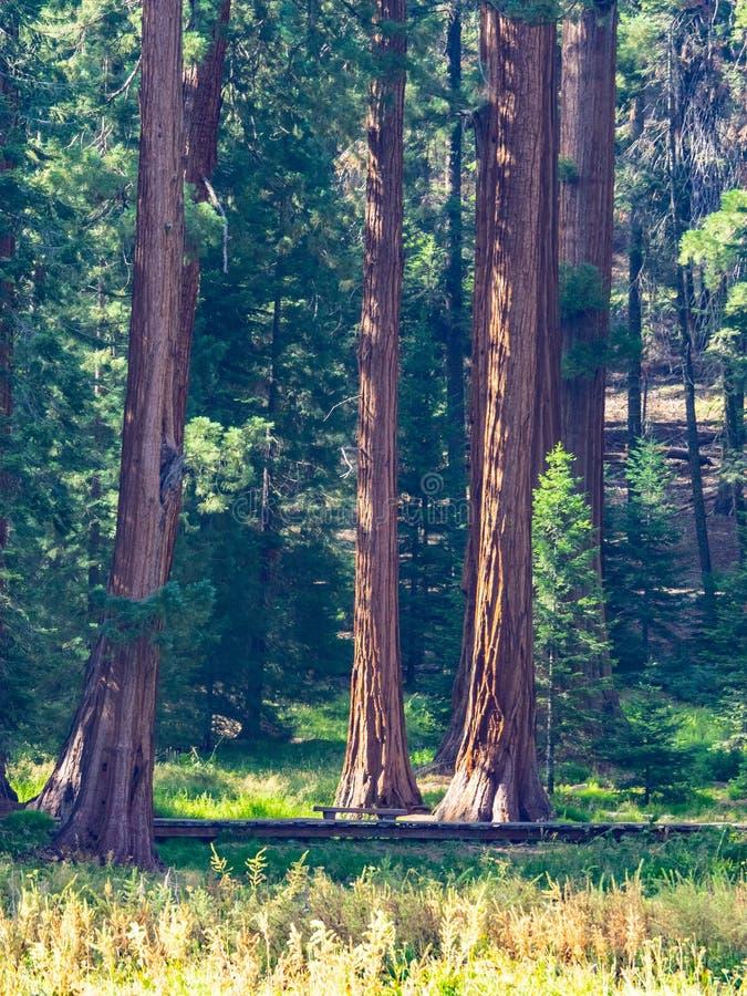 Sequoiaträd omger ängen royaltyfri bild