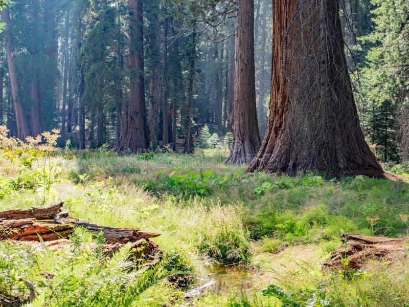 Sequoiaträd omger ängen arkivbilder