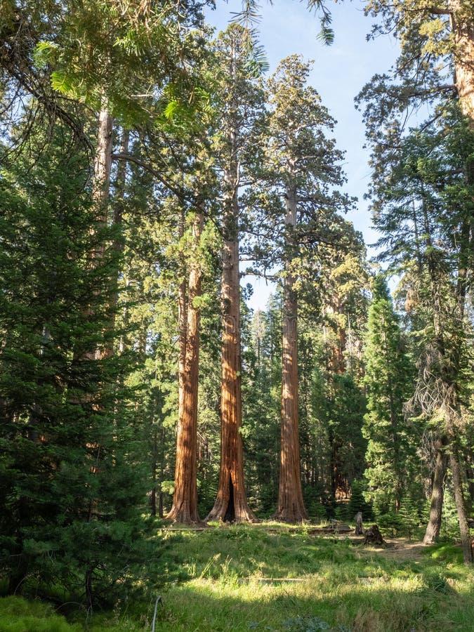 Sequoiaträd omger ängen royaltyfri foto