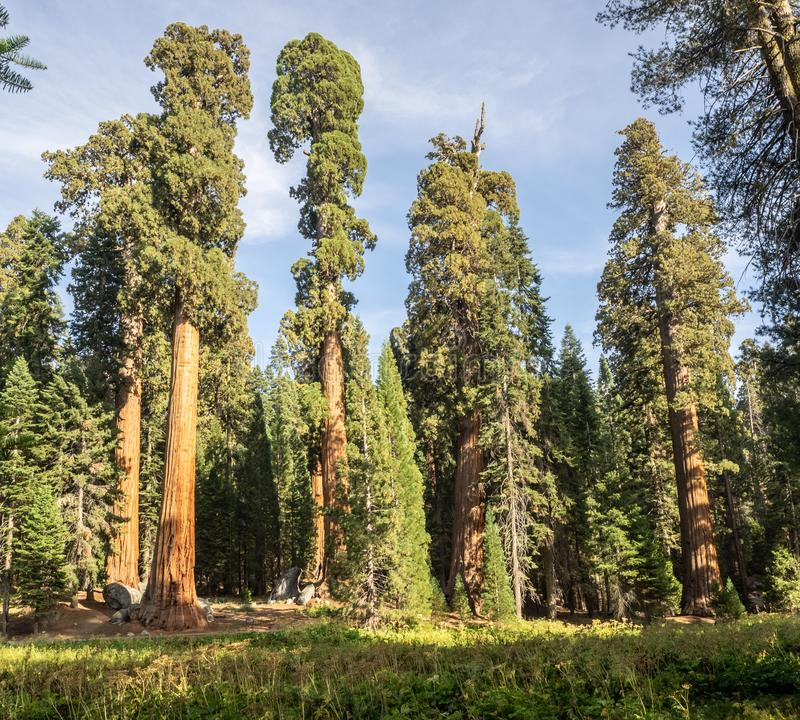 Sequoiaträd omger ängen arkivfoto