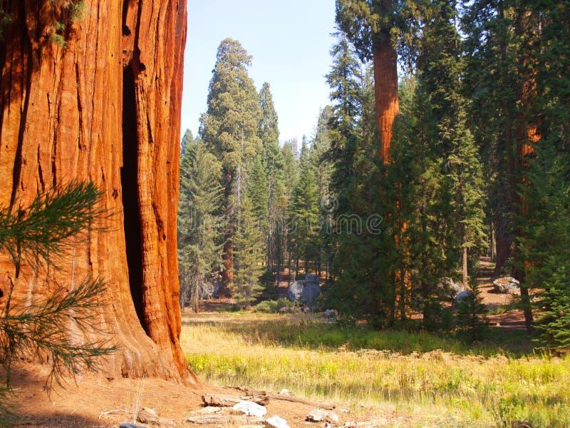Sequoie dal prato fotografia stock libera da diritti