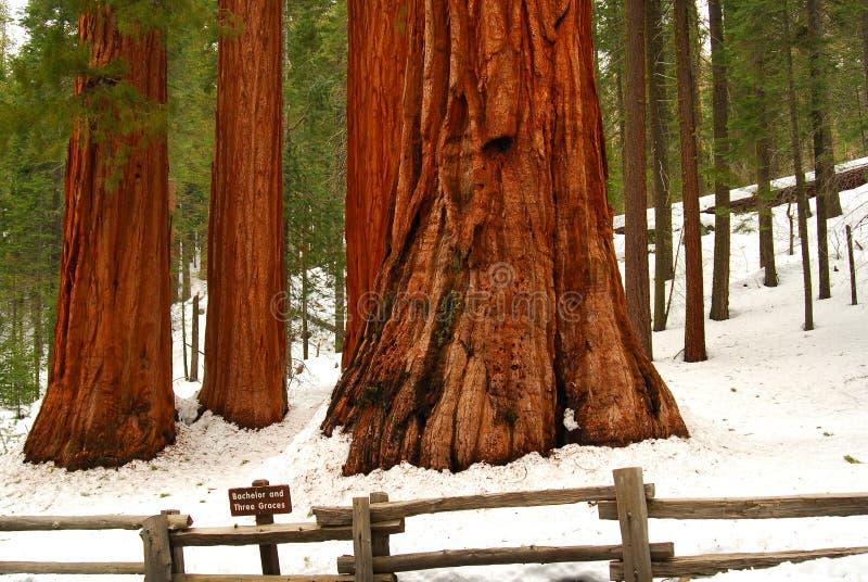 Sequoie giganti fotografia stock