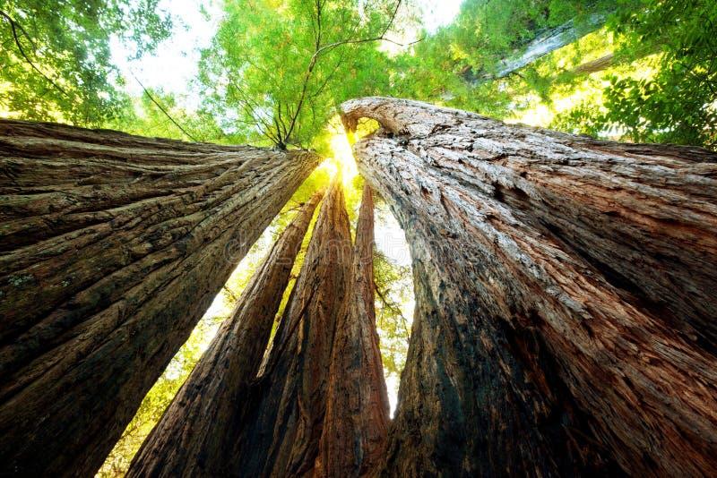 sequoya imagens de stock royalty free