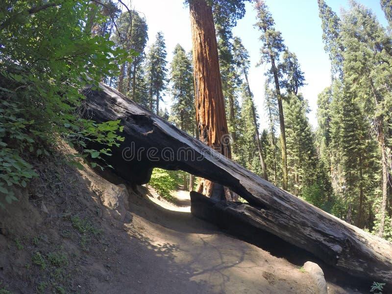 Sequoya-Waldweg mit einem gefallenen Baum lizenzfreie stockfotos
