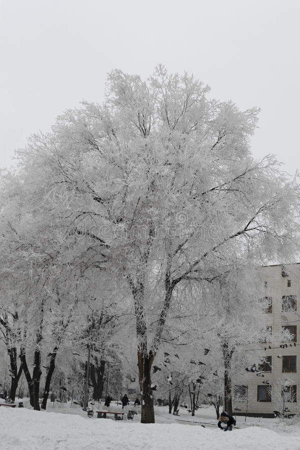 Ser det snöig stora trädet täckt duggregn mycket trevlig fotografering för bildbyråer