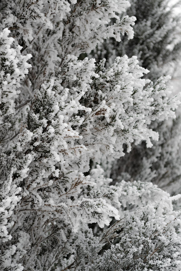Ser det snöig stora trädet täckt duggregn mycket trevlig royaltyfri bild