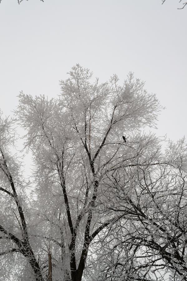 Ser det snöig stora trädet täckt duggregn mycket trevlig royaltyfria bilder