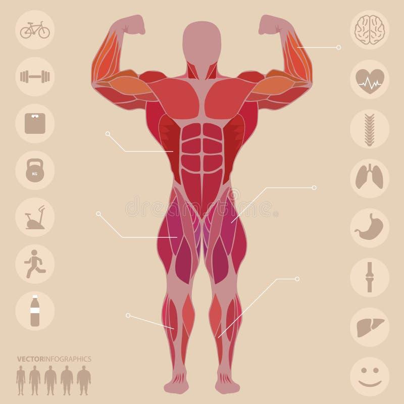 Ser humano, anatomía, músculos anteriores, deportes, médicos, vector ilustración del vector
