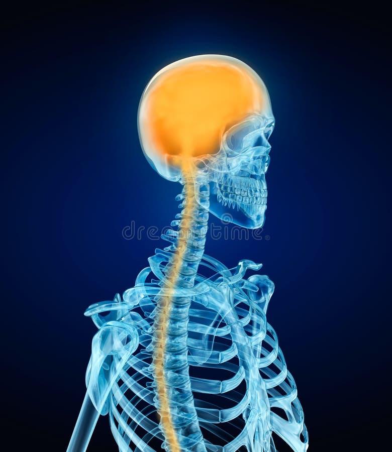 Ser humano Brain Anatomy e esqueleto ilustração do vetor