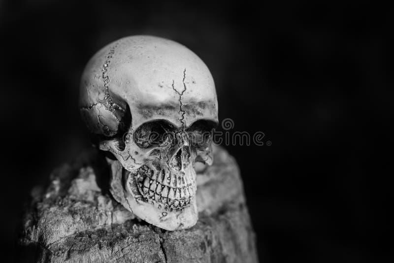 Ser humano del cráneo en la madera secada imagenes de archivo