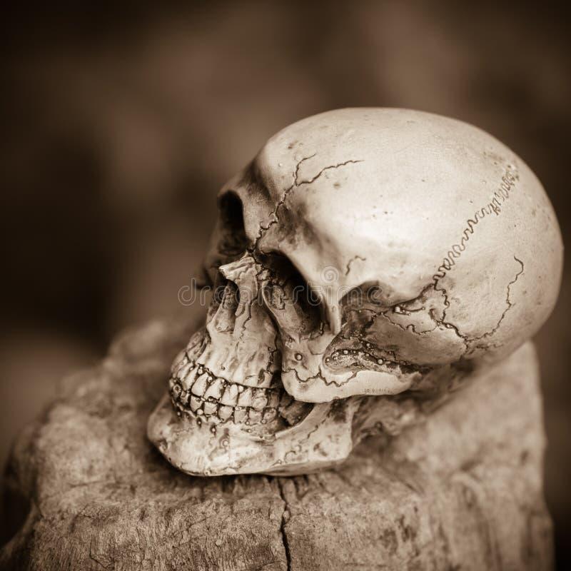 Ser humano del cráneo en la madera secada imagen de archivo libre de regalías