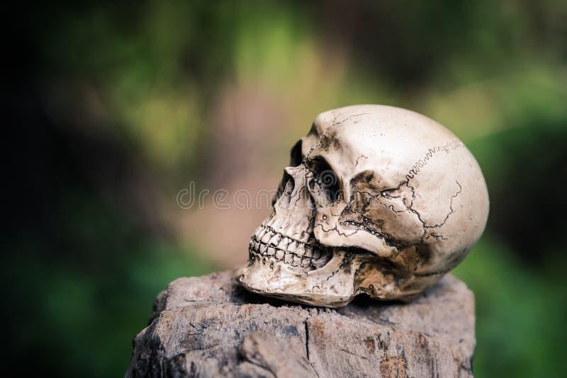 Ser humano del cráneo en la madera secada imagen de archivo