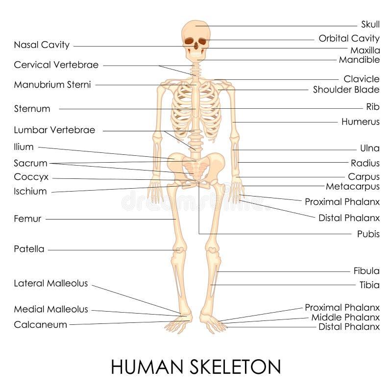 Ser humano Skelton ilustração royalty free
