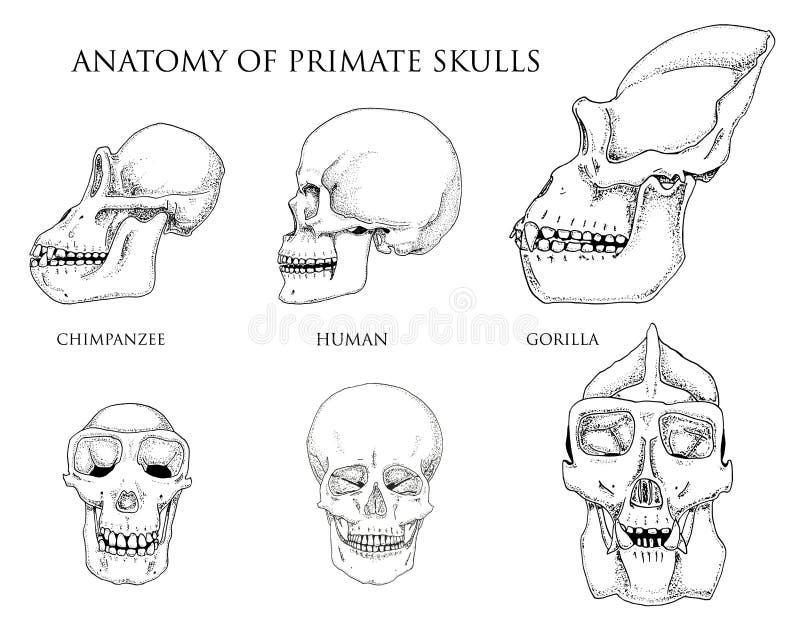 Ser Humano Y Chimpancé, Gorila Ejemplo De La Biología Y De La ...