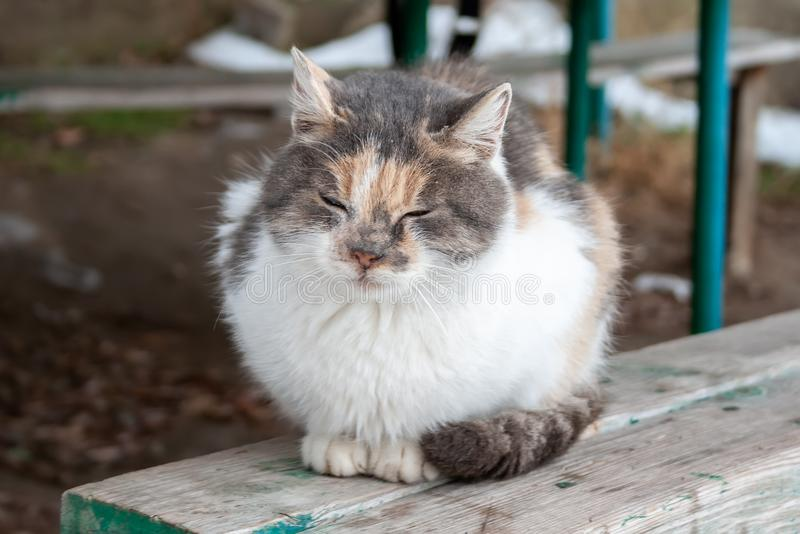 Ser vesgo o gato tricolor senta-se em um banco de madeira foto de stock royalty free