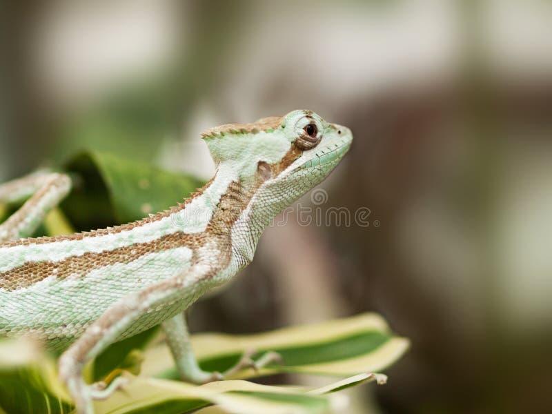 Serated Caquehesd鬣鳞蜥画象- Laemanctus serratus 免版税库存图片