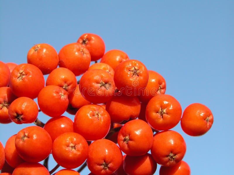 Download Serbal foto de archivo. Imagen de rojo, ceniza, planta - 185422