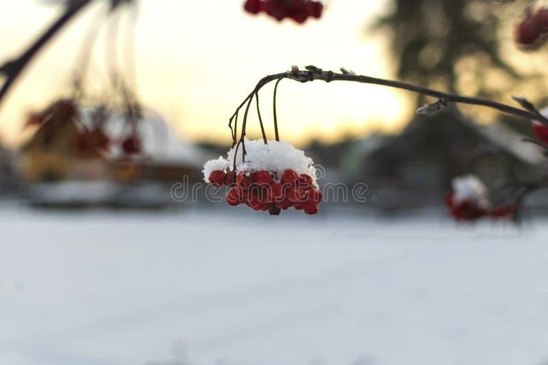 Serbal rojo debajo de la nieve en la puesta del sol fotos de archivo libres de regalías