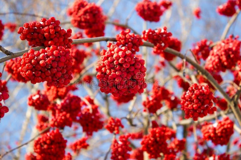 Serbal rojo del invierno fotos de archivo libres de regalías